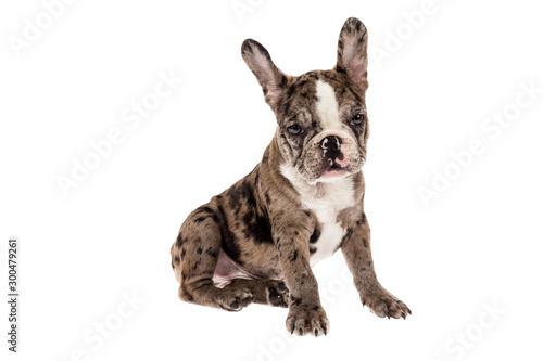 Tender mascot - french bulldog merle baby, photo on white background.