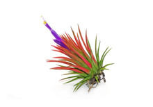 Tillandsia Ionantha Isolated On White Background. Tillandsia Are Sky Plant, Careless And Low Maintenance Ornamental Plants That Required No Soil, Only Plenty Of Water, Sunlight And Good Airflow.