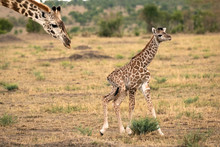 Mother Giraffe Follows Closely Behind Her Newly Born Calf As It Tries To Walk On Wobbly Legs.  Image Taken In The Masai Mara, Kenya.