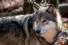 Close Up Of A Gray Wolf (timber Wolf) With Fall Color In The Background.