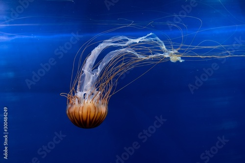 Photographie  Beautiful jellyfish under the water - great for an article about the underwater
