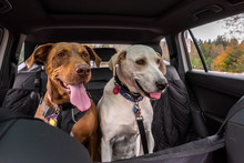 Two Rescue Dogs Inside A Car H...