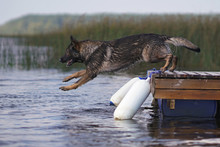 Wet Sable German Shepherd Dog Jumping Outdoors Into Water From A Wooden Pontoon In Hot Summer