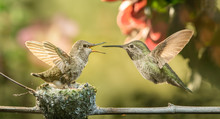 Baby Hummingbird Opening Mouth...