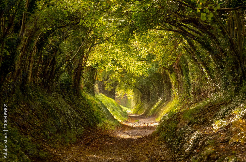 Fototapeta Halnaker tree tunnel in West Sussex UK with sunlight shining in. This is an ancient road which follows the route of Stane Street, the old London to Chichester road.