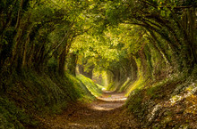 Halnaker Tree Tunnel In West S...