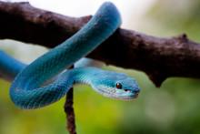 Blue Insularis Pit Viper, Veno...