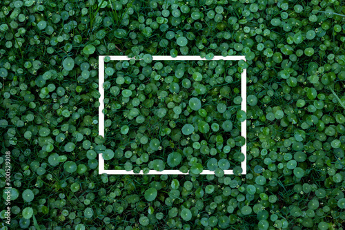 Obraz Green leaves pattern with white frame for nature concept,leaf Water Pennywort   plant - fototapety do salonu