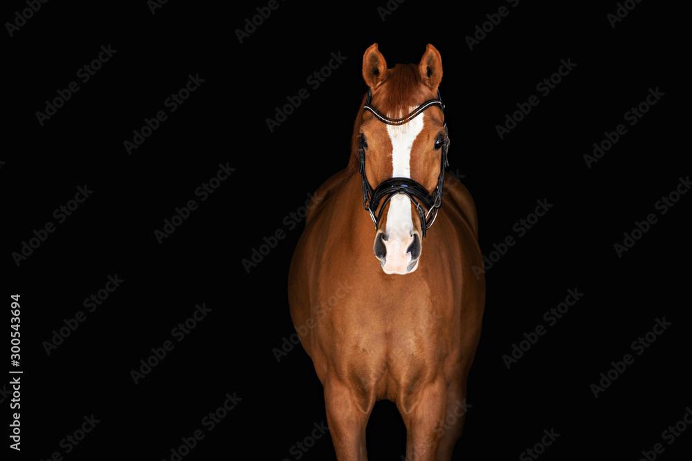 Fototapety, obrazy: Chestnut Horse on Black Background