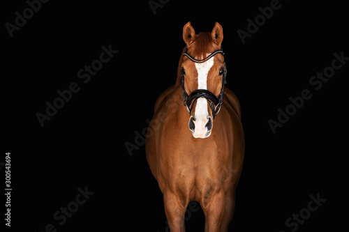 Chestnut Horse on Black Background