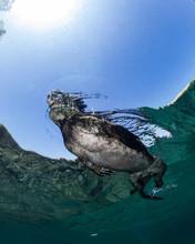 Galapagos Swimming Iguana