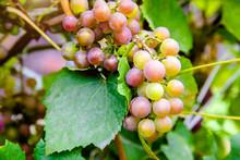 Ripening Green Grapes Hanging ...