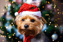 Beautiful Yorkshire Terrier In A Christmas Hat