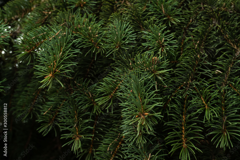 Fototapety, obrazy: close up branches of coniferous tree abstract natural background