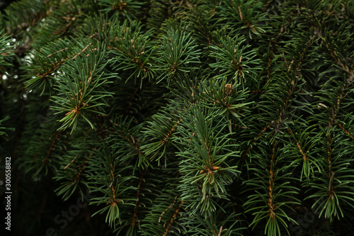 Pinturas sobre lienzo  close up branches of coniferous tree abstract natural background