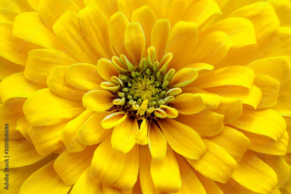 Fototapety, obrazy: closeup beautiful yellow chrysanthemum flower in the garden, nature background