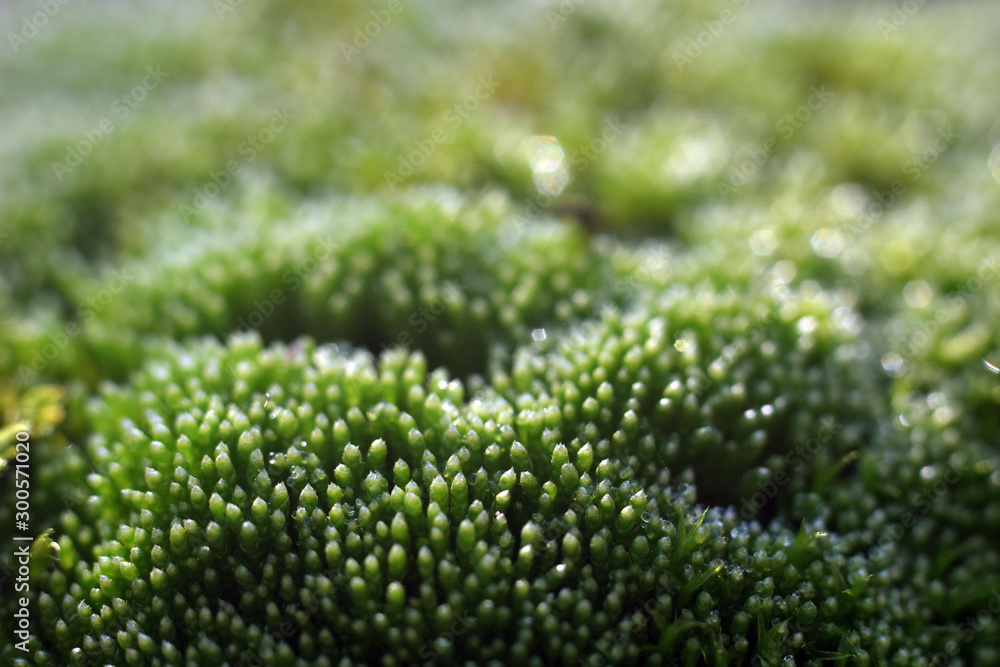 Fototapety, obrazy: Beautiful green moss with selective focus. Macro shot