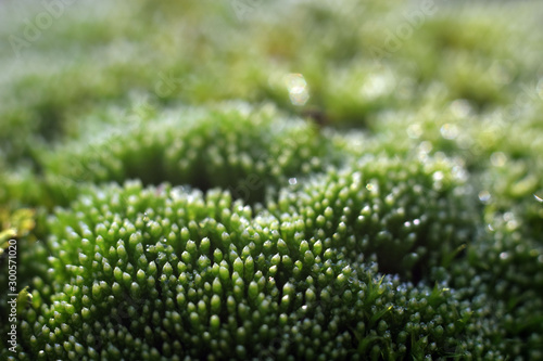 Foto auf AluDibond Pistazie Beautiful green moss with selective focus. Macro shot