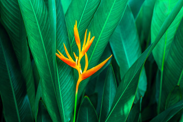 Fototapeta Do jadalni colorful exotic flower on dark tropical foliage nature background, tropical leaf