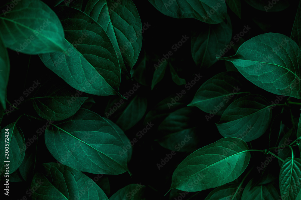 Fototapeta  closeup tropical green leaves texture and dark tone process, abstract nature pattern background