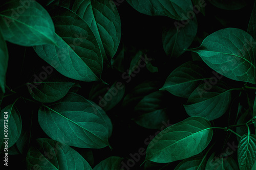 Fototapete - tropical leaves texture, abstract green leaves and dark tone process, nature pattern background