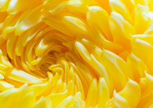Close Up Beautiful Spiral Yellow Chrysanthemum Flower