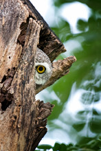 Close Up Spotted Owlet