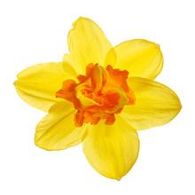 Bright Yellow-orange Daffodil ...