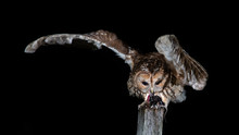 A Tawny Owl Perched On A Post ...