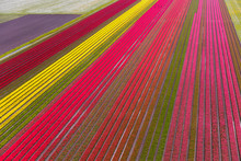 Aerial View Of The Tulip Field...