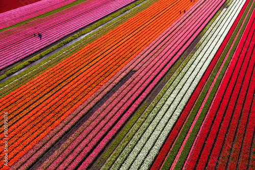 Foto op Plexiglas Baksteen Aerial view of the tulip fields in North Holland , The Netherlands