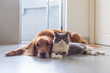 canvas print picture - British shorthair and golden retriever friendly