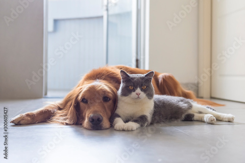 Fototapeta British shorthair and golden retriever friendly obraz