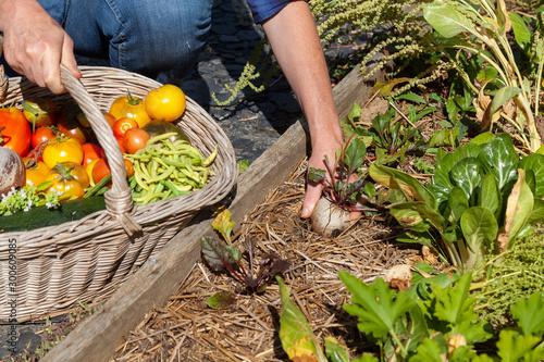 Fotografia Au potager - récolte de légumes - betterave