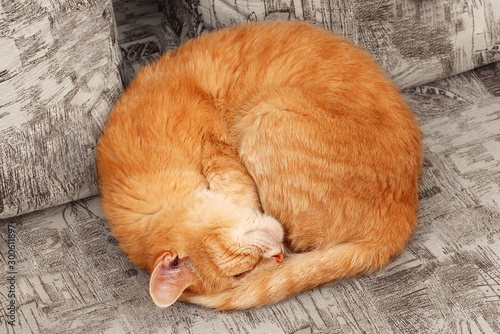 Fotografie, Tablou top view of sleepng ginger cat curled up into a ball