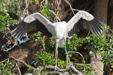 Wood Stork Displaying At Nest