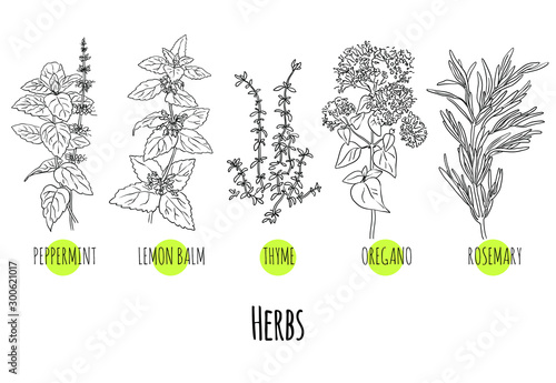 Fotografering Vector set of green herbs and plants sketches: peppermint, lemon balm, thyme, oregano and rosemary