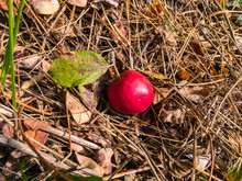 A Bright Red Apple With A Green Leaf Lies In The Autumn Withered Grass On A Sunny Day, Under Natural Light.