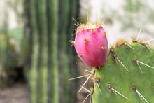 Close-up Shot Of A Prickly Pear On A Prickly Pear Cactus - Saguaro National Park, Arizona, USA