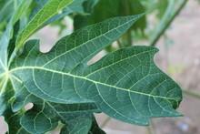 Green Natural Papaya Leaf Text...