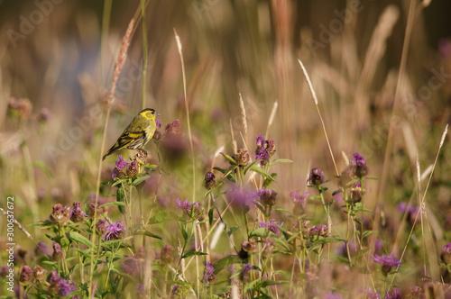 Fototapeta  Wyspa Linnansaari-Nationalpark ptak czyż na oset  obraz
