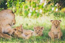 Lioness And Three Newborn Cubs...