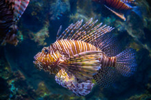Miles Lionfish Swimming In Cor...