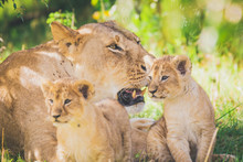 Lioness And Cubs In Africa. Wi...