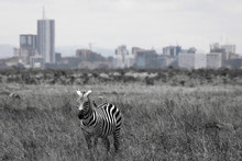 A Plain Zebra Closeup Portrait In Nairobi National Park With Nairobi City Skyline In The Background. Wildlife, Urban, Cities, African, Wilderness, Contrast Concept.