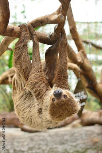 Fotografie, Obraz  木の枝にぶら下がるナマケモノ