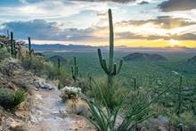 Massive Saguaro Cactus Next To...