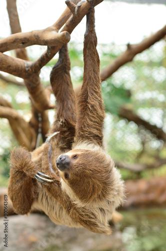 Valokuva 木の枝にぶら下がるナマケモノ