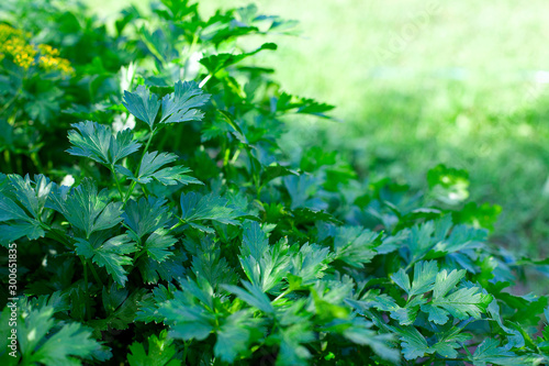 parsley growing in garden Tablou Canvas