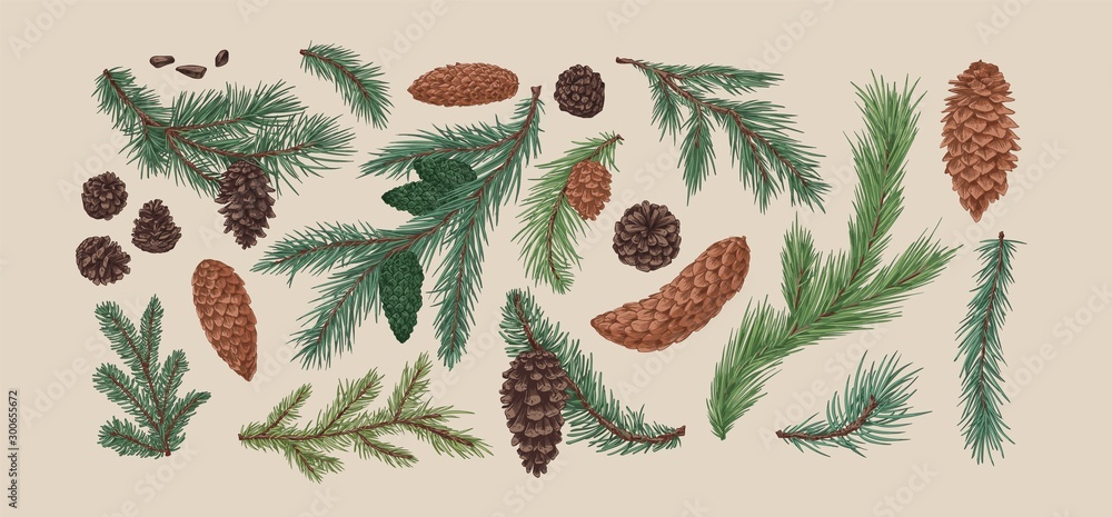 Fototapeta Hand drawn colorful collection of spruce branches and cones. Realistic engraving set of conifer cone isolated on light background. Natural fir, pine, cedar elements. Vector illustration.